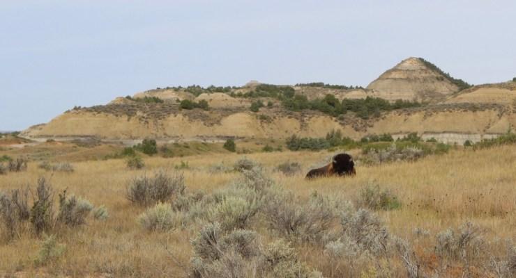 bison in trnp