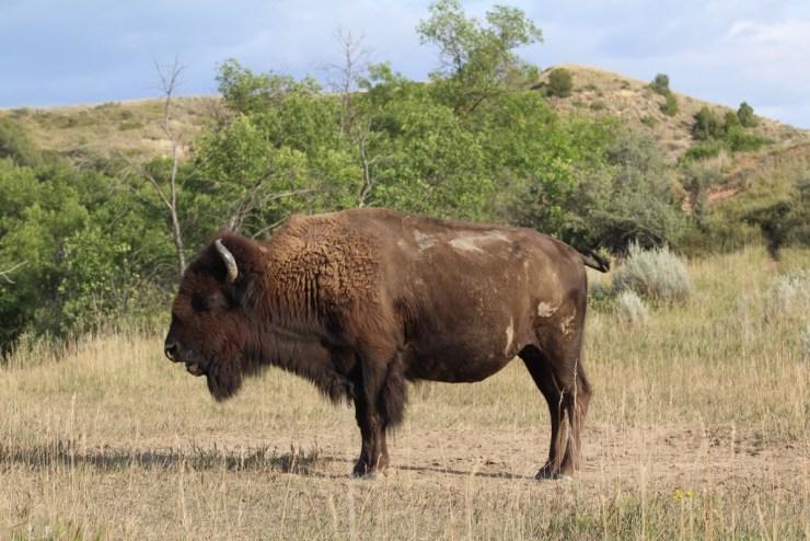 bison at trnp