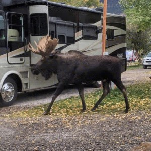 moose in the campground! in Wilson, WY