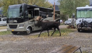 a moose in the campground!