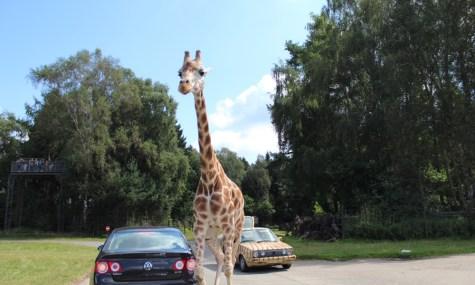 Nicht immer drängeln Autofahrer, auch die Tiere wollen mal durch - immer bei Seite: Parkranger (anklicken zum vergrößern)