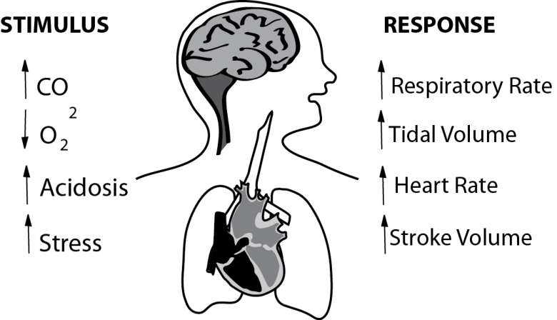 To explain the physiology behind CO2 retention and the physiology of breathing, llustration shows the impact of the 4 major drives to respiration, as well as the 4 major stimuli to breathing