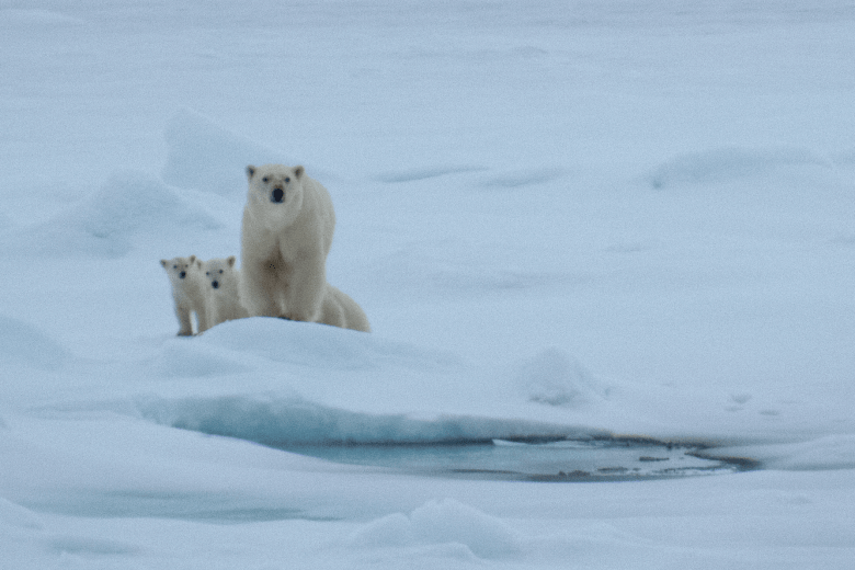 Mother polar bear with her 3 cubs, Svalbard, Norway