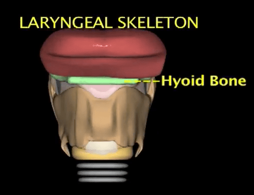 animation of the larynx by Christine Whitten showing the laryngeal anatomy and how the structures of the larynx move in relationship to each other