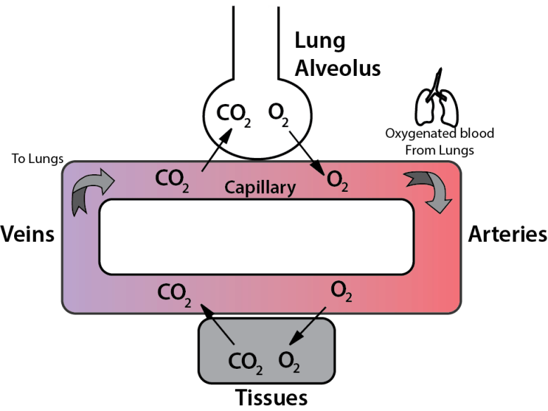 Oxygen delivery and CO2 removal from the lungs depend on lung function, blood hemoglobin concentration, and circulation. Disturbance in any of these risks respiratory distress or failure. If lung function and Hgb are stable, then changes in ETCO2 imply changes in perfusion.