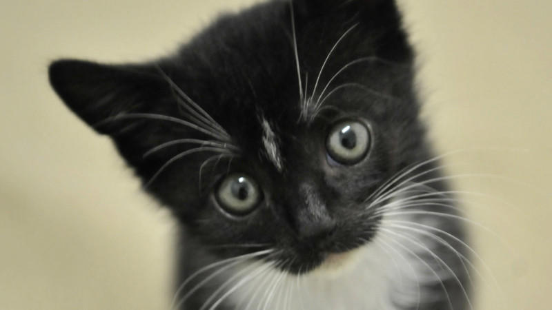 ARCHIVE - The two-month-old cat Delayla is sitting in the cat room of the animal shelter in Mainz on June 27th, 2008. While some enjoy their summer vacation in a relaxed manner, others have to toil: Animal shelters and pensions are always on during their long vacations