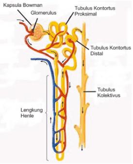 Bagian bagian nefron