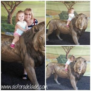 #aisforadelaide #lion #travel #sandiegozoo #sandiego #zoo #california