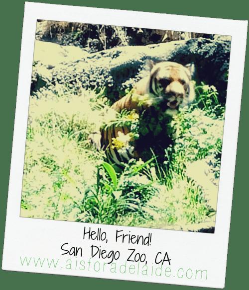 #aisforadelaide #tiger #travel #sandiego #sandiegozoo #zoo #california