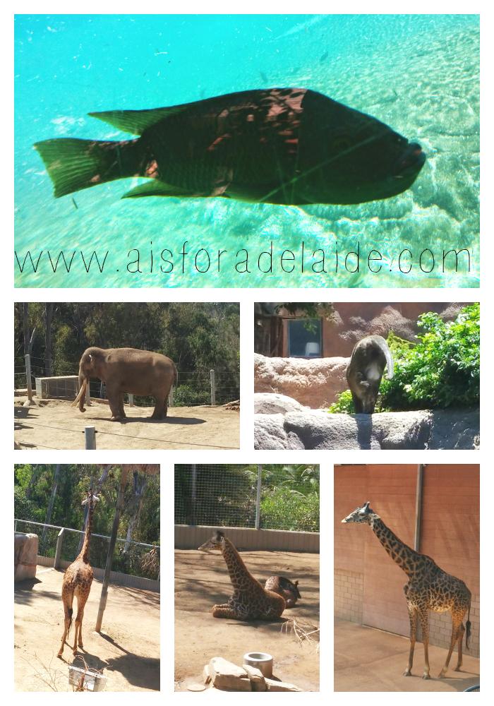 #aisforadelaide #travel #sandiego #california #sandiegozoo #elephants #giraphs