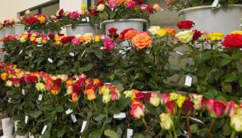 Wholesale flowers to UAE - Aisha Flowers