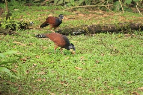 Two females of Great Curassow (Crax rubra)