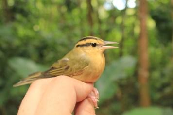"The uncommon Worm-eating Warbler (Hemiltheros vermivorum, Parulidae) in Melissa's ""Meadow"""