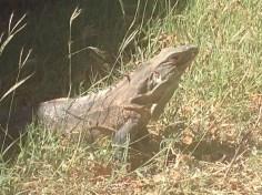 Iguana, Palo Verde Iguana, Palo Verde