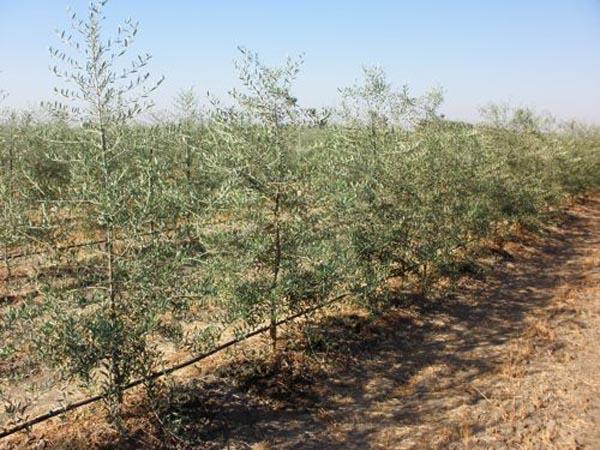 Trellised Olive Orchard