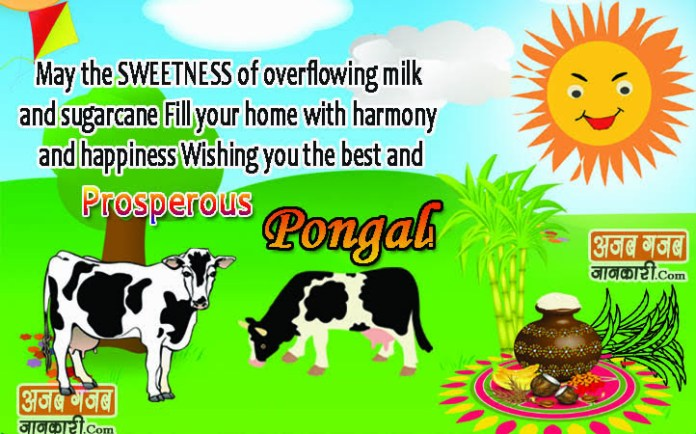 Pongal wishes quotes images in english 2018 greetings card happy happy pongal greetings m4hsunfo Gallery