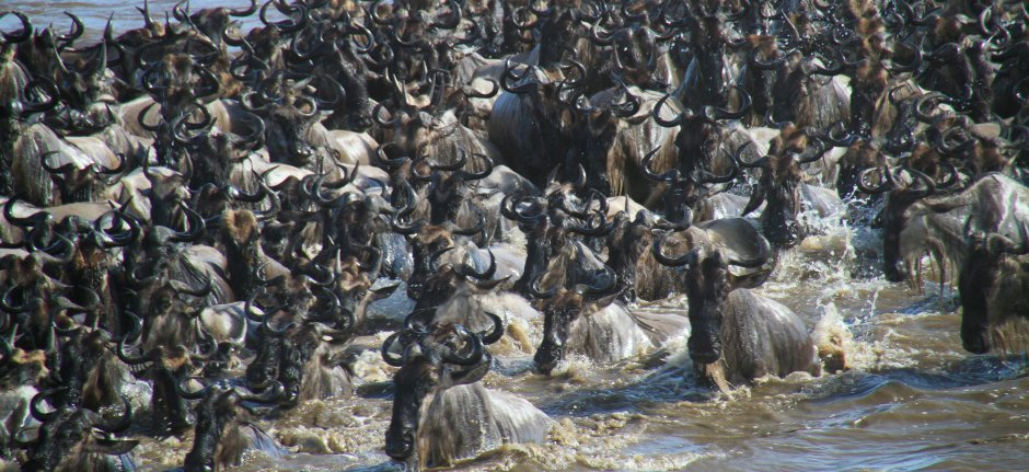 Dangerous Mara River crossing during the Great Migration