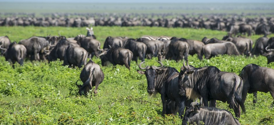 Big herds of wildebeest join the great migration