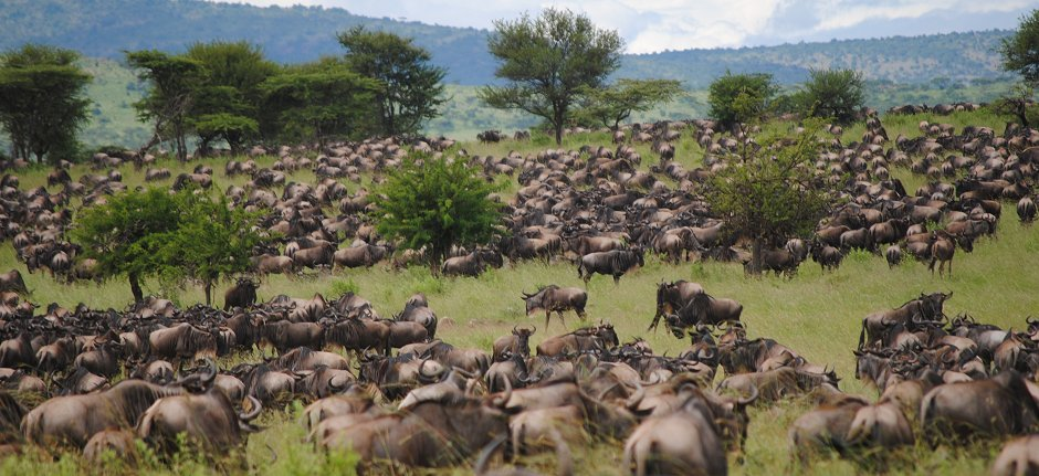 Wildebeest herds fill the Serengeti plains