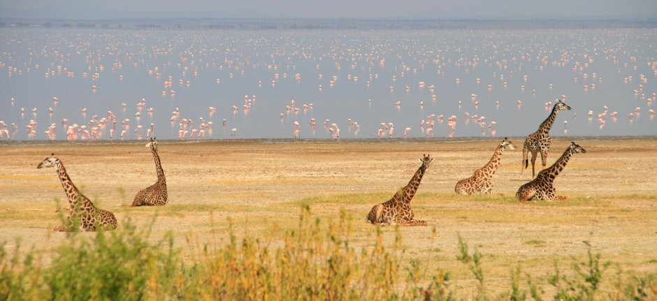 Giraffes doing social distancing in Lake Manyara National Park
