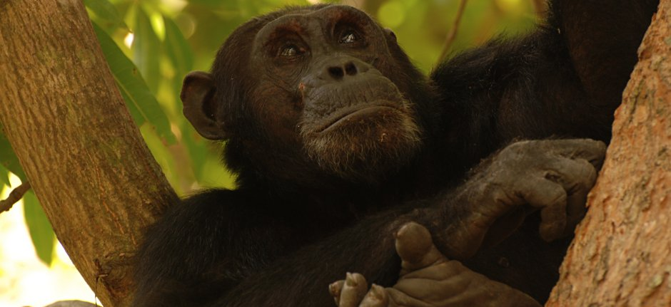 Volg de chimpansees in Gombe Stream National Park