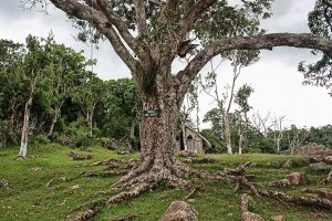 Kindah Tree in Accompong Town, St. Elizabeth Jamaica