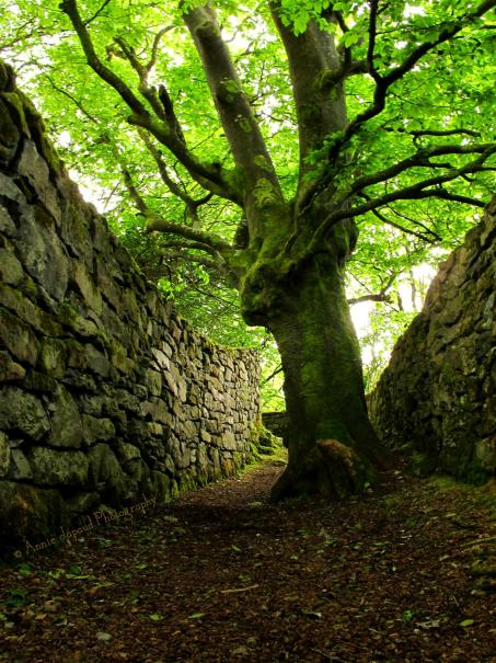 an old tree in the middle of a path, between stone walls
