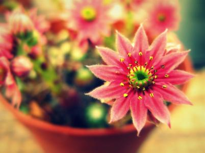 blossoming cactus © Annie Japaud Photography