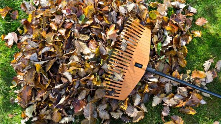 Raking leaves during fall cleanup