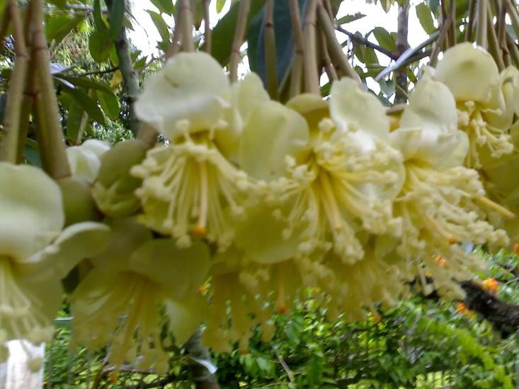 Meis_durian_flowers_(1038579655)