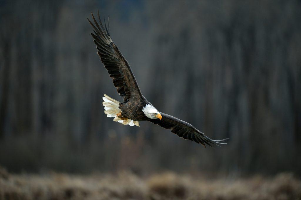 Bald eagle in flight, dark background. Chilkat River, Alaska.