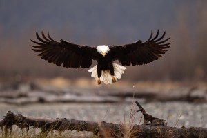 Chilkat Bald Eagle Preserve, Haines Alaska