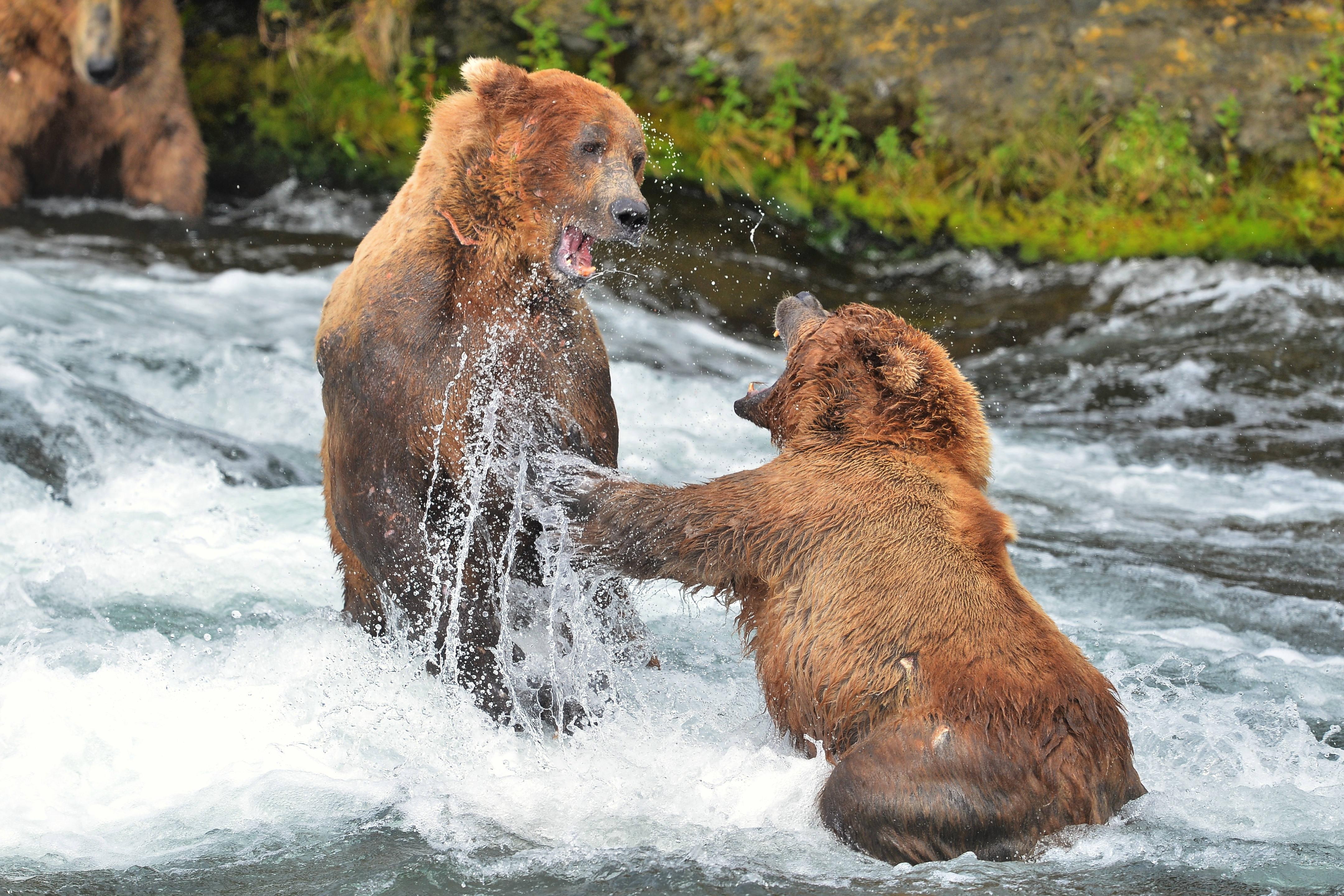 Brown Bear Defending Her Cubs
