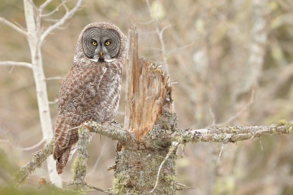 Great Grey Owl on a Perch