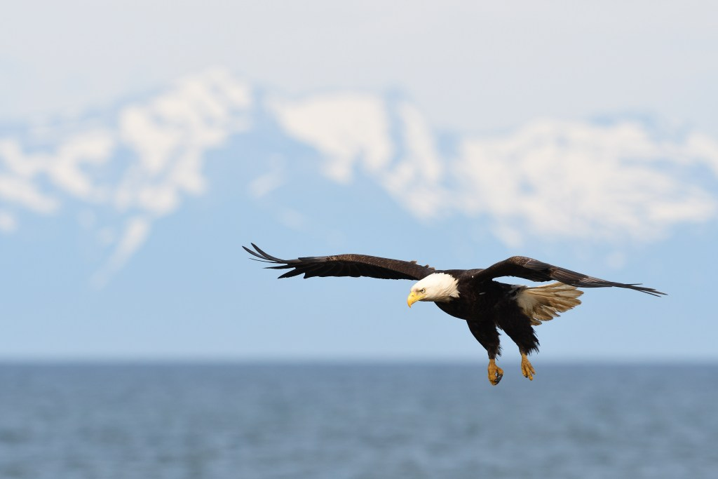 Bald eagle in flight with snow capped mountains in the background