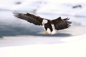 bald eagle landing in snow haines alaska