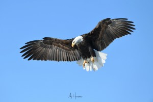 Iowa Bald Eagle Photography Tour