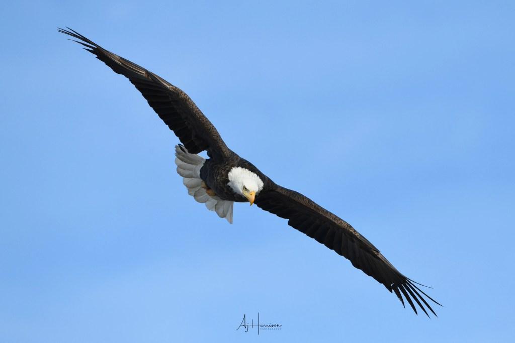 Bald eagle soaring over the Mississippi River near LeClaire, Iowa.