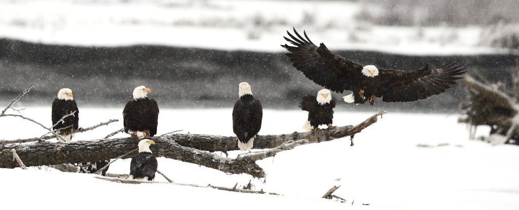 Bald eagle chilkat alaska