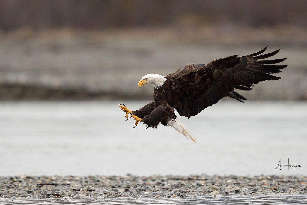 Bald eagle landing with talons extended.