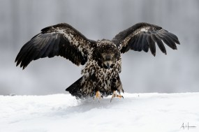 Juvenile bald eagle in snow