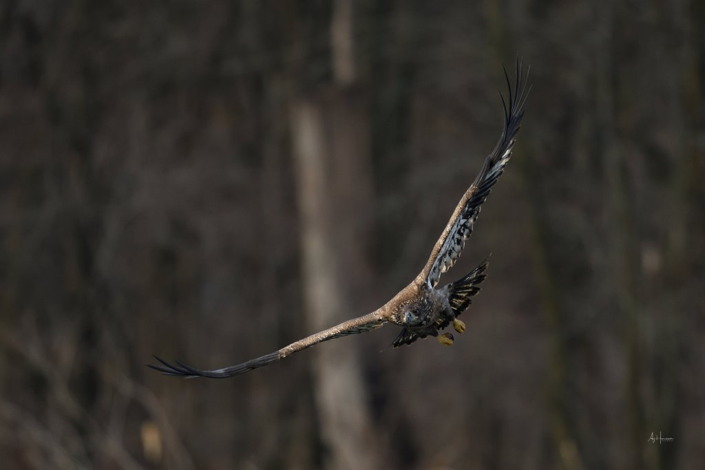 Juvenile bald eagle in flight - Iowa