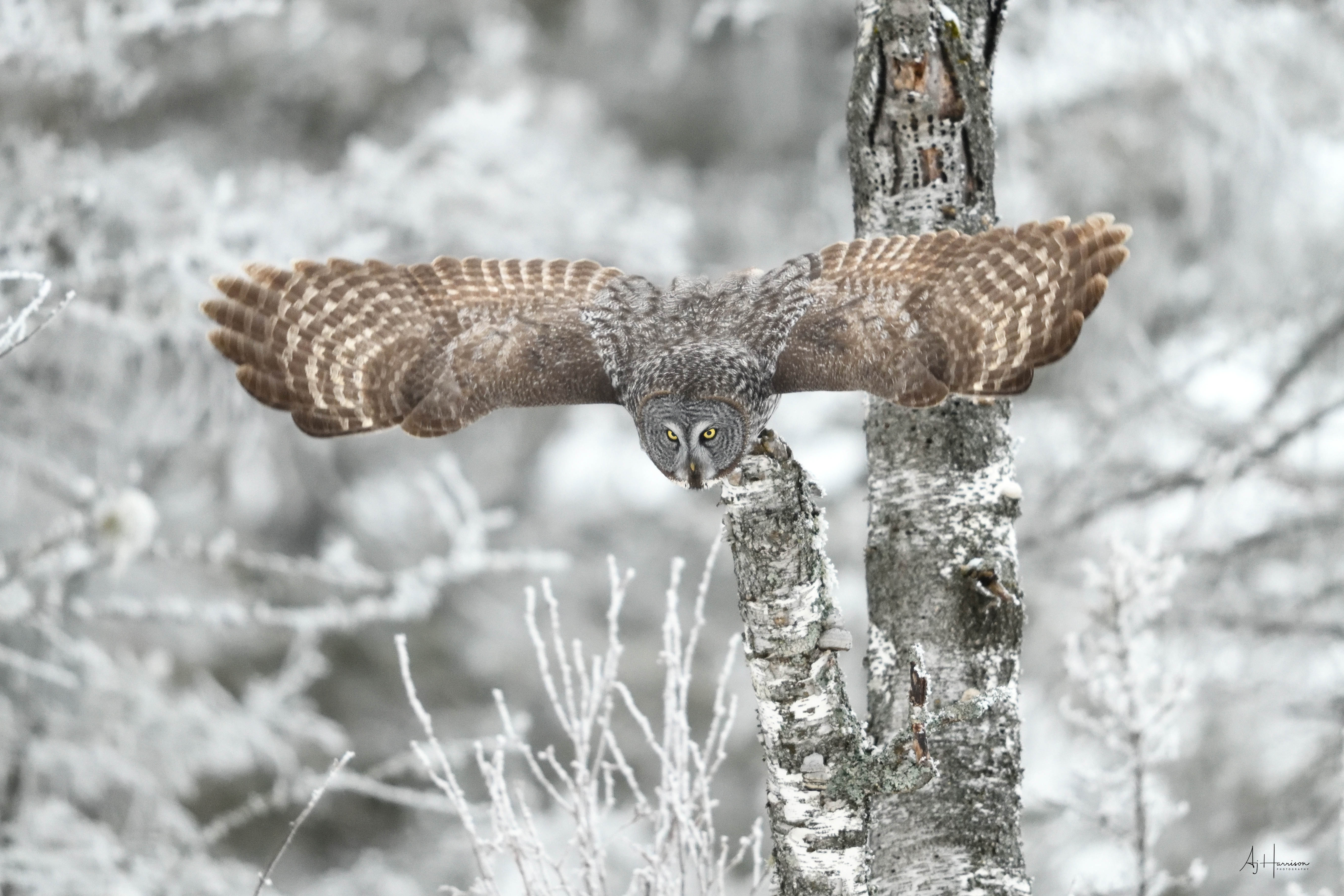 Great gray owl photography tour