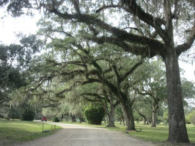 Groves of Live Oaks