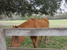 Another of the blind horses we fed