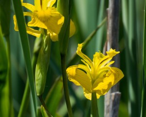 Wild Iris, Capitol Lake, Olympia WA, Photo by Allan J Jones