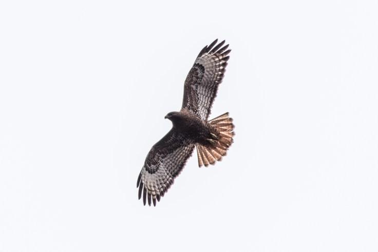 Red Tail Hawk, Olympia WA, 9Apr2017, Photo by Allan J Jones