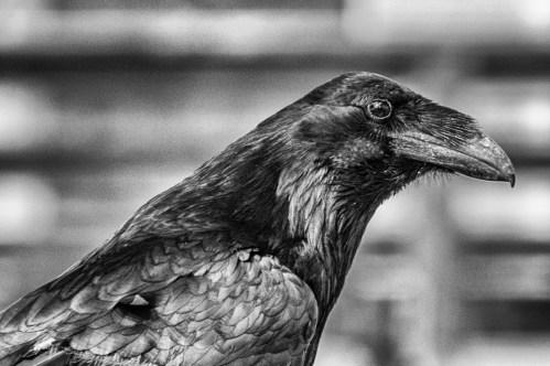Raven in Haines, Alaska, 15May2015, Photo by Allan J Jones