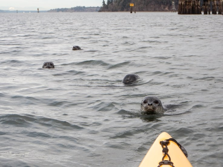 Kayaking with Harbor Seal Pups