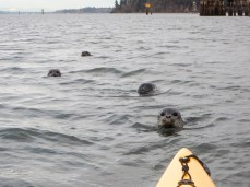 Kayaking with Seal Pups, Budd Bay, Olympia WA, 16Jan2016, Photo by Allan J Jones